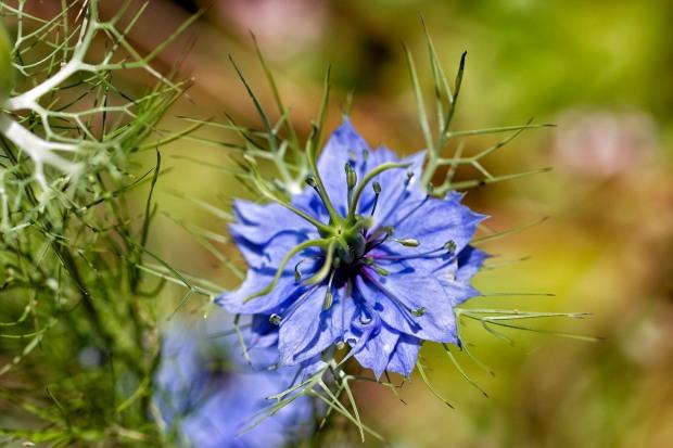 yanni blue cosmos flower