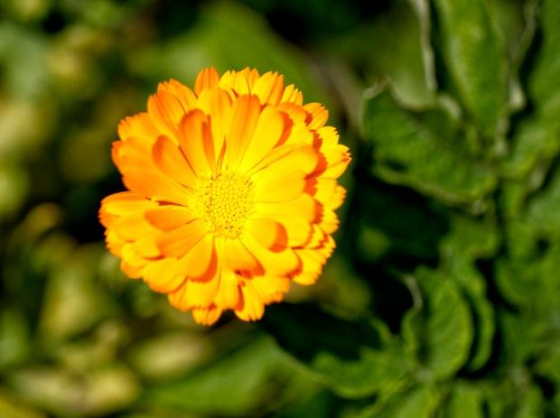 yanni georgious calendula flower