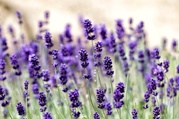 yanni miniture lavender crop