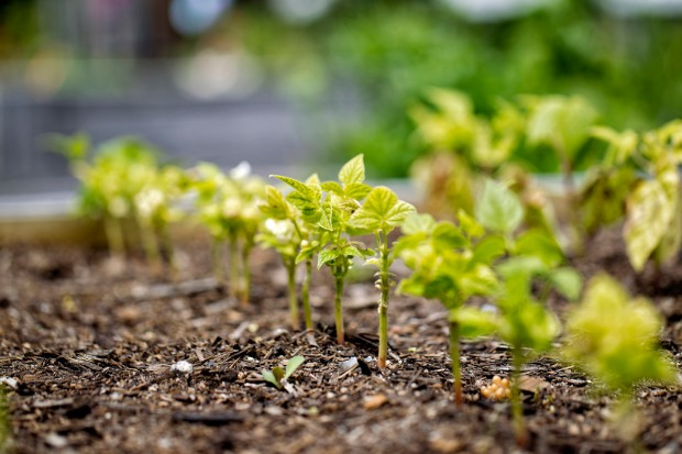 yanni row of unhealthy looking seedlings