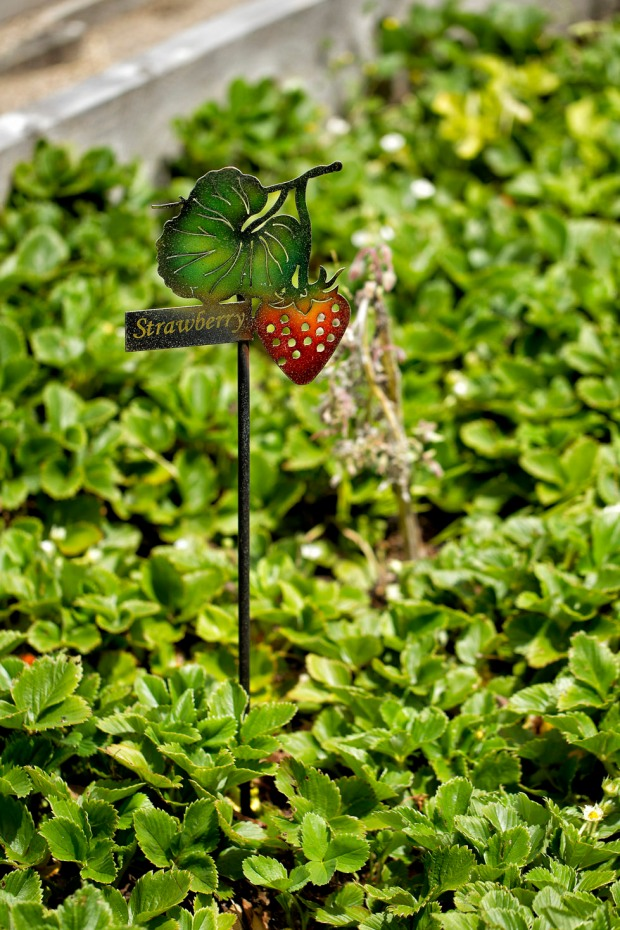 yanni strawberry patch with name tag